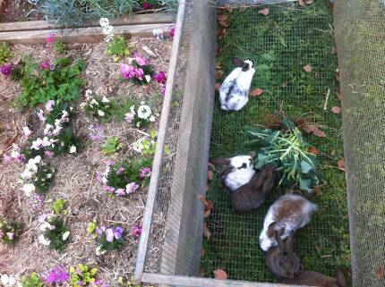 Giant Flemish cross rabbits- only 4 left Wyong Wyong Area Preview