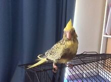 Weiro Cockatiel  hand fed and raised babies Gosnells Gosnells Area Preview