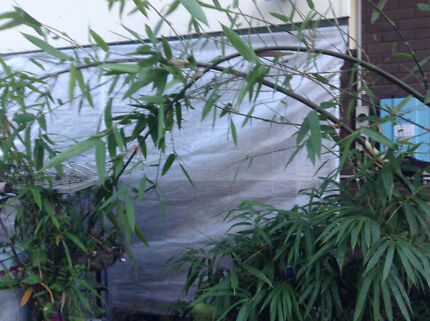 Black Bamboo Plants Timor Bambusa Lako Clumping Giant