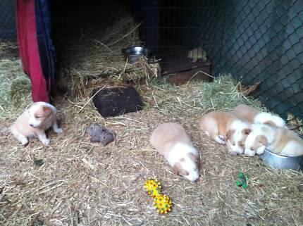 Border Collie Purebred Pups East Lismore Lismore Area Preview