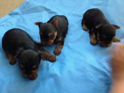 Yorkshire Terrier Male puppy Newcastle Region Preview