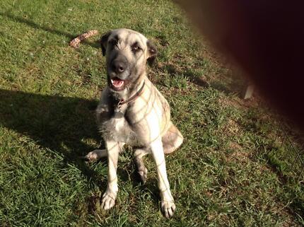 Labrador Riggeback free to good home
