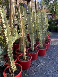 Euphorbia Ammak large Yellow cactus