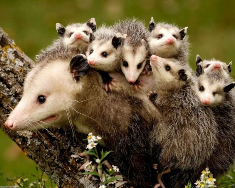 Opossum Babies Possum 8x10 Picture Celebrity Print