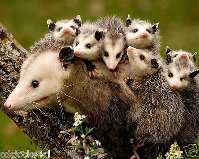 Opossum Babies  / Possum 8 x 10 GLOSSY Photo Picture IMAGE #3