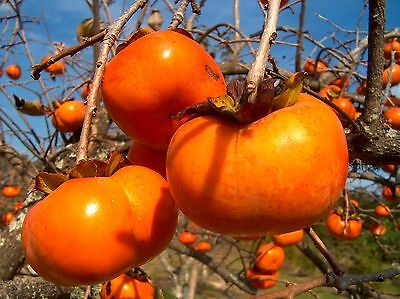 Japanese Persimmon, Diospyros kaki, Tree Seeds (Edible ...