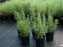 Rosemary Officinalis Londonderry Penrith Area Preview