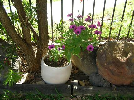 Daisy Flower Plant in clay pot Padstow Bankstown Area Preview