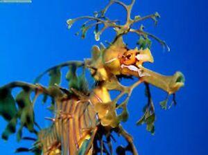 Live Seahorse | eBay