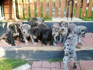 Great Dane Puppies Elizabeth East Playford Area Preview