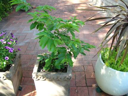Healthy Chestnut Tree--35CM tall Padstow Bankstown Area Preview