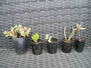 Succulent Cuttings Lewisham Sorell Area Preview