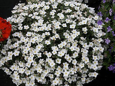 CUPFLOWER - 650 seeds  - WHITE ROBE - Nierembergia hippomanica - HANGING (650 Seeds)