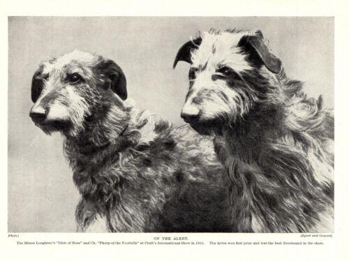 1930s Antique DEERHOUND Print Champion Loughrey Scottish Deerhounds 3744 S