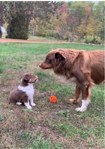 Mini-Australian Shepherd Puppies (males)