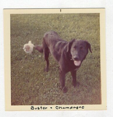 Vintage Photo Black Labrador Retriever Dog & White Poodle Dog 1970