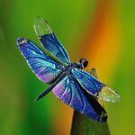 Dragonfly Daydreams
