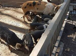 Piglets for sale - carters ride Belli Park Noosa Area Preview