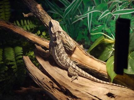 Wanted Female adult Pygmy Bearded Dragon