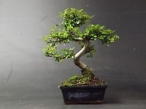 Bonsai Tree, Chinese Elm, 25-30cm Tall With Matching CERAMIC DRIP TRAY
