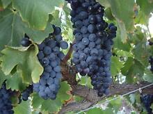 grapes organic Shiraz Gawler South Gawler Area Preview