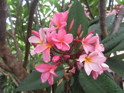 Frangipanis(pink),geisha girl,ginger plant,ponytail plant, succulents