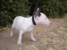 PURE BRED ENGLISH BULL TERRIER PUPS Lochiel Wakefield Area Preview