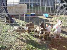 PURE BRED ENGLISH BULL TERRIER PUPS Port Wakefield Wakefield Area Preview