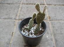 Bunny ear Cactus East Cannington Canning Area Preview