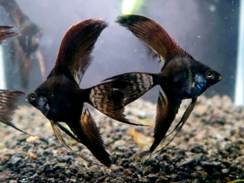 3 Double Black Veil Angelfish  aquarium breed Tropical Freshwater Angelfish