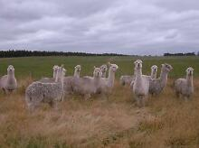 Alpacas, 5 White male Sires Albany 6330 Albany Area Preview