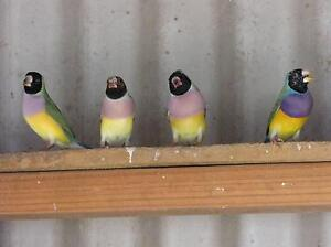 Gouldian Finches $50.00 pair Appin Wollondilly Area Preview