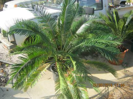 Cycas revoluta (sago palm) Muchea Chittering Area Preview