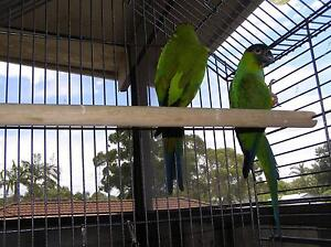 Nanday Conure pair Doyalson Wyong Area Preview