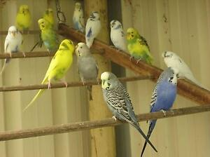 Baby Budgies and Breeders for sale. Quinns Rocks Wanneroo Area Preview