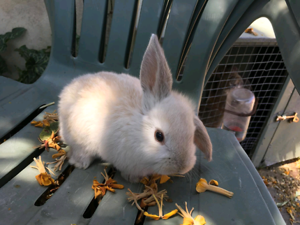Female baby rabbits for sale