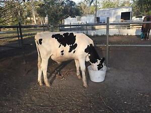 Pet Steer Needs a new home Carbrook Logan Area Preview