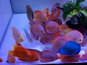 March huge Forrest discus shipment has arrived! Discus fish Adelaide CBD Adelaide City Preview