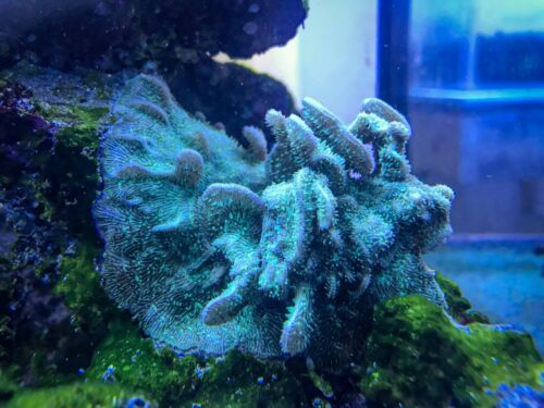 """Live coral: """"Cactus Pavona"""" Coral SPS (1 inch frag)"""