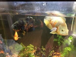 Medium oscars, blood parrot, jack Dempsey and red jewel for sale