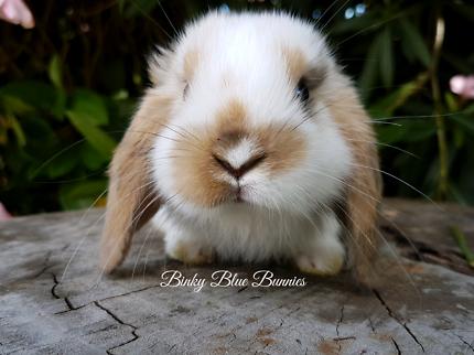 🎀🌼 Binky Blue Bunnies 🌼🎀 Reputable Breeder PERTH NOR