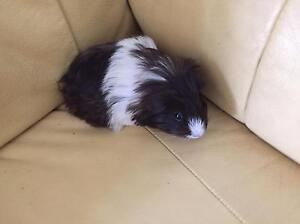 PUREBRED PERUVIAN GUINEA PIGS /AND TEXELS Highland Park Gold Coast City Preview