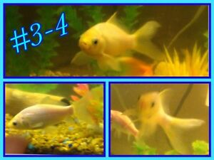4 gros Poissons rouge blanc