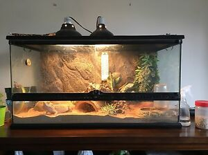Bearded Dragon with full enclosure and accessories  Kingston Kingston Area image 2