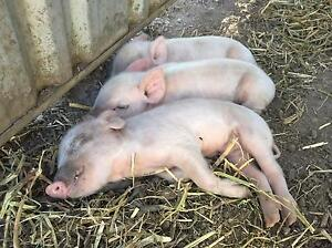 Mini pigs for sale Nerang Gold Coast West Preview