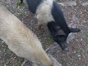 Pet Pigs Need a new home Urgently Carbrook Logan Area Preview