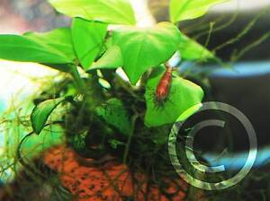 Red cherry shrimp on sale UP TO $1 EACH Beverly Hills Hurstville Area Preview