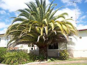 LARGE PALM TREE, Inverell Inverell Area Preview