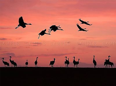 HERD CRANE BIRDS PINK SKY SILHOUETTE PHOTO ART PRINT POSTER PICTURE BMP065A