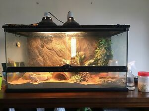 Bearded Dragon with full enclosure and accessories  Kingston Kingston Area image 1